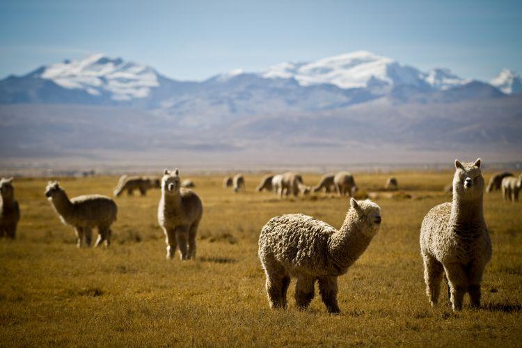 födelsedagssånger 50 år Diamonds of the Andes födelsedagssånger 50 år
